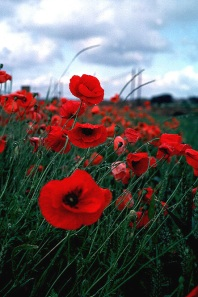 Poppy parkway florist pittsburgh blog the memorial day flower is the poppy more so the red poppy the reason for this designation stemmed from the poem in flanders fields by john mccrae mightylinksfo